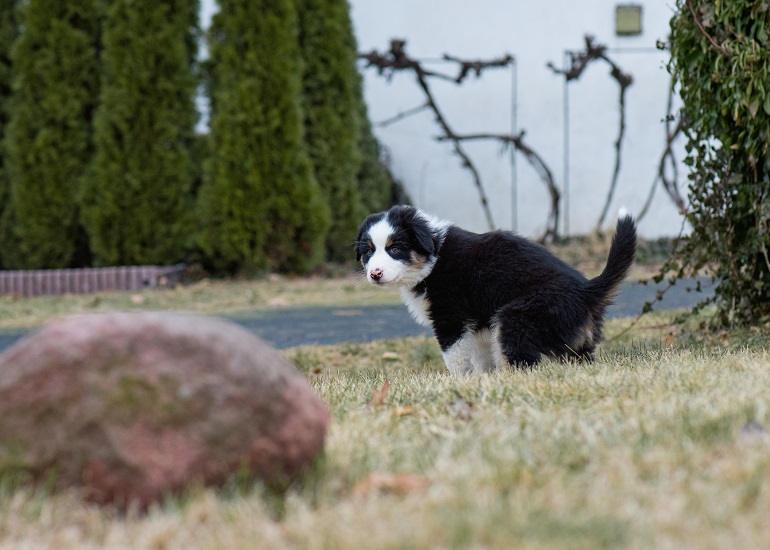 Australian Shepherd Welpe löst sich auf dem Rasen