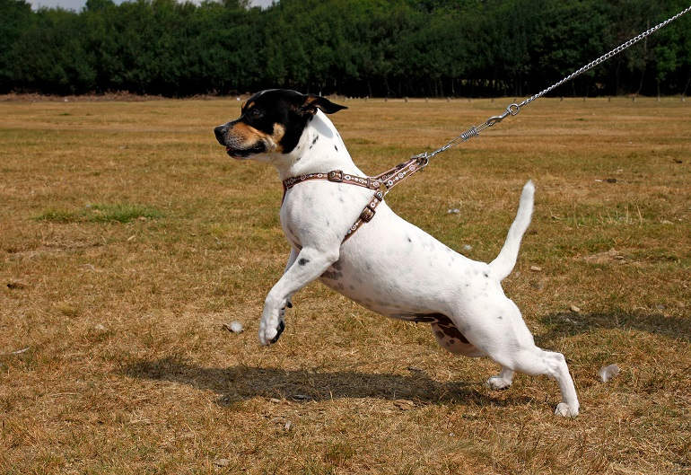 Ein kleiner Jack Russell Terrier-Mix zieht an der Leine