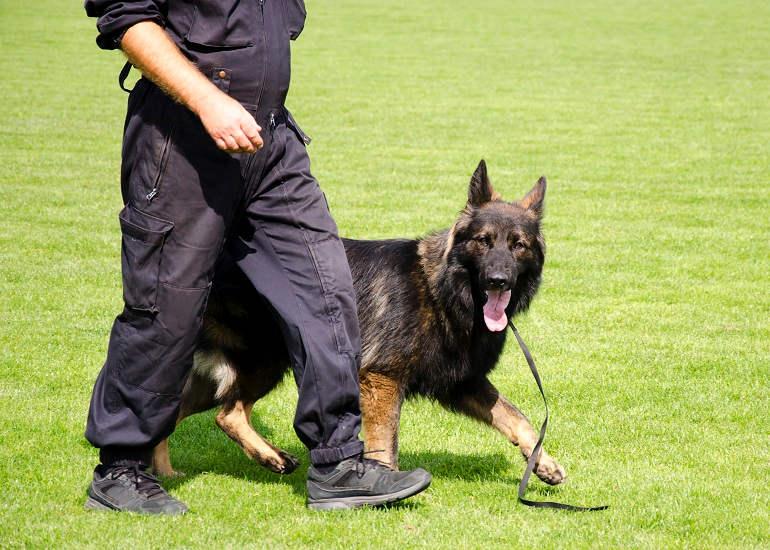 Schäferhund läuft neben Hundetrainer bei Fuß