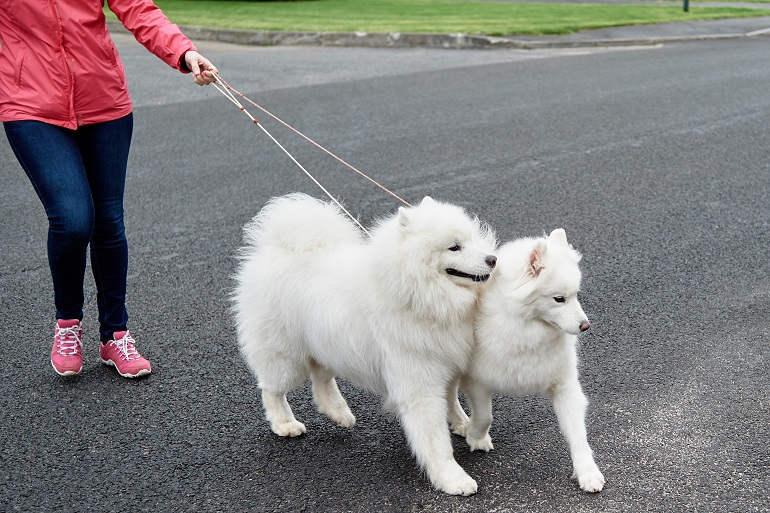 Zwei weiße Samojeden ziehen an der Leine