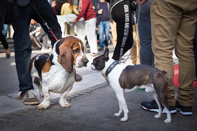 Basset Hound und Boston Terrier an der Leine beschnüffeln sich inmitten einer Menschenmenge