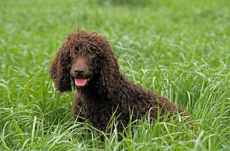 Irish Water Spaniel in hohem Gras