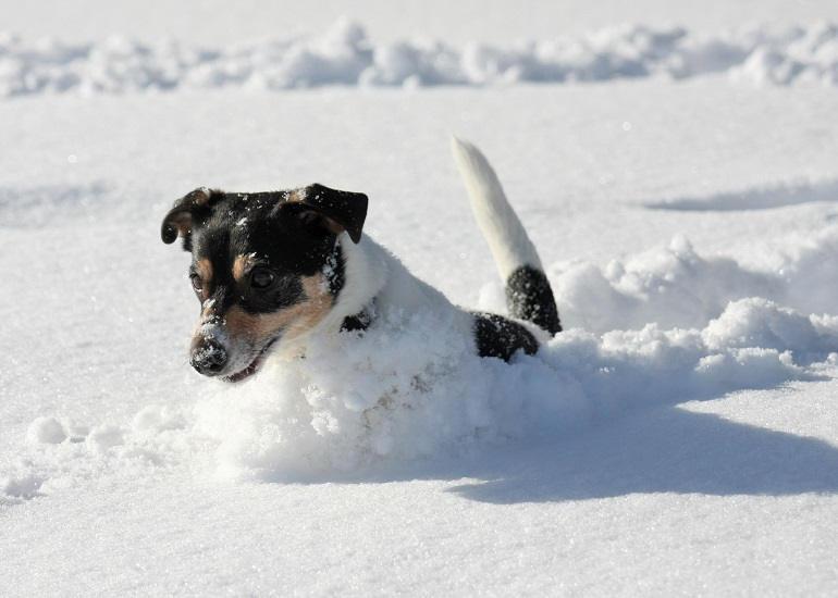 Jack Russell Terrier springt im Schnee umher