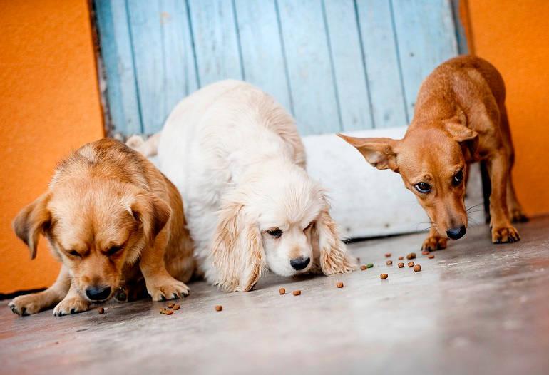 Drei Hunde fressen Trockenfutter vom Boden