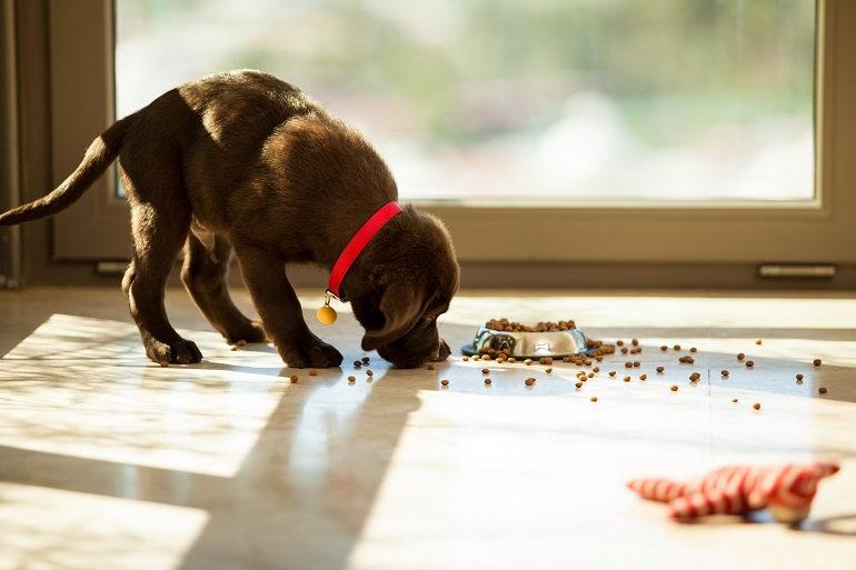 Kleiner schokofarbiger Labradorwelpe frisst Tockenfutter vom Boden.